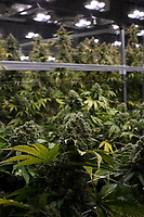 Cannabis plants are seen in a grow room at the production and packaging facility for Garden Remedies, a medical cannabis producer, in Fitchburg, Massachusetts, USA, on Fri., Feb. 22, 2019.