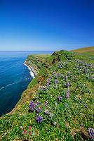 Lupine wildflowers along the ridge of the steep cliff coast of St. Paul, Pribilof Islands, Bering Sea, Alaska.