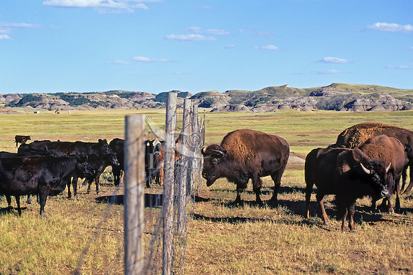 Bison & cattle face eachother accross North boundary fence, Theodore Roosevelt National Park, North Dakota.  Summer.