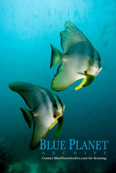 Longfin spadefish, Platax teira, Raja Ampat, West Papua, Indonesia, Pacific Ocean