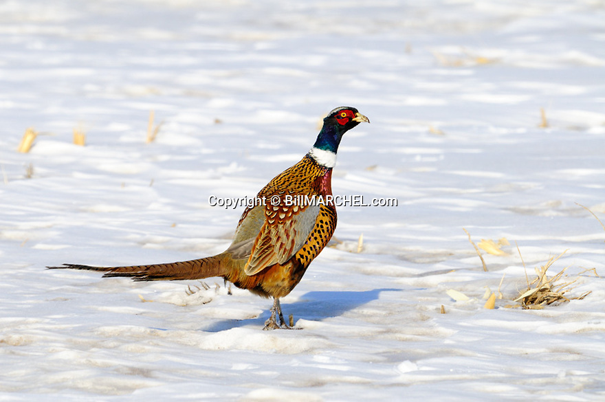 00890-037.06 Ring-necked Pheasant rooster pauses while feeding in snow covered corn stubble field during winter.  Hunt, survive, cold, food.