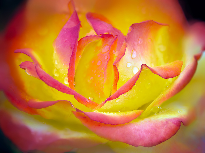 Taquila Sunrise rose. Oregon