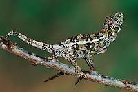 Warty Chameleon (Furcifer verrucosus), Madagascar, Africa