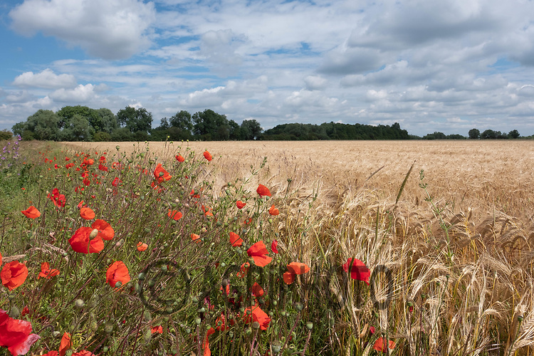 Wild flowers on a field margin<br /> ©Tim Scrivener Photographer 07850 303986<br />      ....Covering Agriculture In The UK....