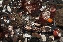 Sea scorpion {Taurulus bubalis} camouflaged in rockpool. Isle of Skye, Scotland. March.