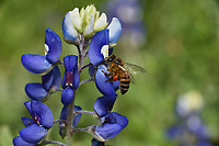 Honey bee feeding on Texas Bluebonnet, Texas