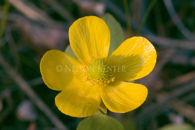 Buttercup blossom from a Montana National Forest
