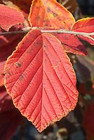 Hamamelis x intermedia 'Aurora' fall foliage