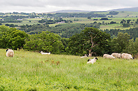 Cumbria, England, UK.  Sheep Grazing along Hadrian's Wall Footpath, Countryside in Background.