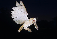 Barn Owl, Tyto alba,adult in flight with mouse, Willacy County, Rio Grande Valley, Texas, USA, March 2004