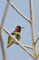 Male Anna's Hummingbird (Calypte anna) perched on frost covered limb.  Western Washington, Feb.