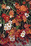 17216-CJ Harlequin Flower, Sparaxis tricolor, Bakersfield