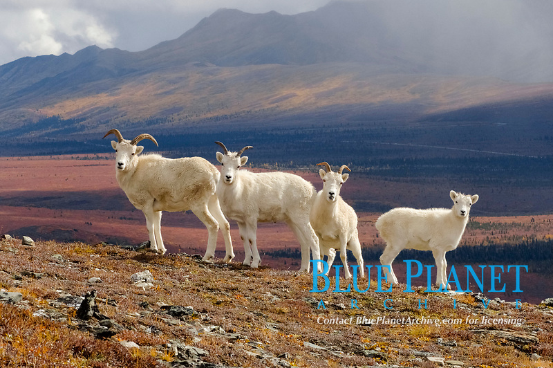 Dall sheep, Ovis dalli, herd resting on a hillside during fall colors, Mount Margarget, Denali National Park, interior Alaska, USA