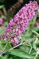 Buddleja davidii possibly Raspberry Eyes, butterfly bush in bloom, aka Buddleia