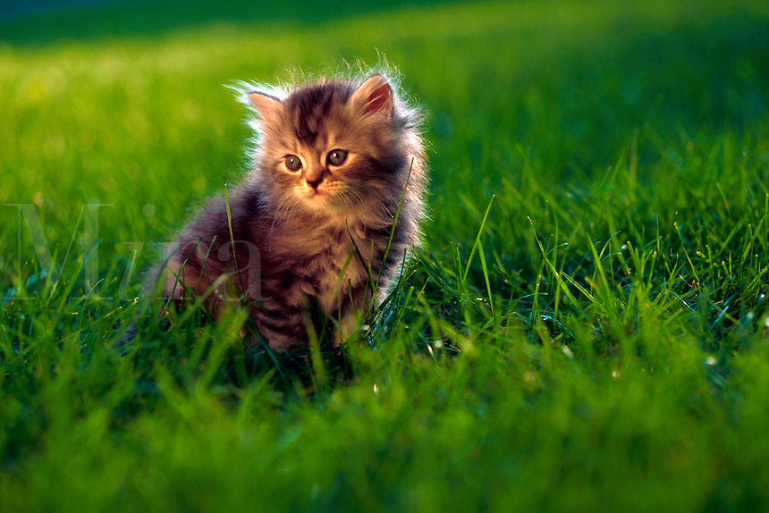 Portrait of Persian silver patch tabby kitten sitting in the grass.