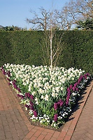 Spring bulbs: white daffodils, Hyacinth Woodstock & English Daisy under small birch tree in V pattern with brick walkway and hedge