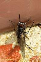 1H01-029a  House Fly - adult climbing wall - Musca domestica