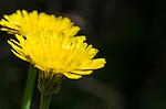 Dandelion flower. Henry Head walk in Kamay Botany Bay National Park, La Perouse, Sydney NSW Australia