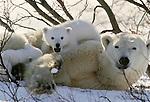Polar bear with cubs, Canada