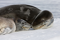 Leopard Seal Mom and Pup relax on an ice floe