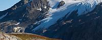Mountain goat, Kenai Fjords National Park, Kenai mountains, Kenai Peninsula, southcentral, Alaska.