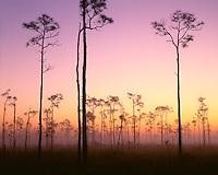 Foggy sunrise light on pine trees; Everglades National Park, FL