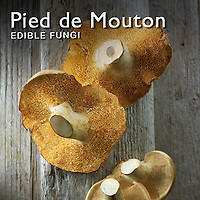 Food Pictures of Pied de Mouton or Hedgehog mushrooms Fresh & Cooked.  Food Photos, Images.