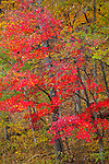 Shenandoah National Park, VA: A maple with red foliage lights up a fall forest