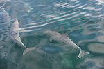 Dolphins at play in the waters off Kangaroo Island