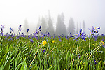 Camas Flower Meadows in western Montana