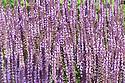 Salvia nemorosa 'Amethyst', late June.