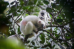 Female Silky Sifaka (Propithecus candidus) with 2-week old and 2-month old offspring (from another female). Plus male sifaka bottom left. Marojejy National Park, north east Madagascar (IUCN: Critically Endangered).