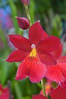 Burrageara Nelly Isler Orchid hybrid