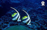 Two  Longfin Bannerfish (Heniochus acuminatus), Noumea, New-Caledonia (Licence this image exclusively with Getty: http://www.gettyimages.com/detail/82064688 )