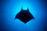 silhouette of giant oceanic manta ray, Mobula birostris, formerly Manta birostris, San Benedicto, Revillagigedos Islands (Socorro Islands), Mexico, Pacific Ocean Mexico, Pacific Ocean