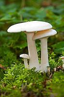 Weißer Rasling, Weißer Büschelrasling, Lerchensporn-Ritterling, Clitocybe connata, Lyophyllum connatum, White Domecap