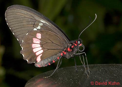 0402-08mm  Transandean Cattleheart Swallowtail, Pink Cattleheart Butterfly, Parides iphidamas, Central America/Dwight Kuhn Photography