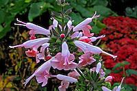 Flores. Boca-de-leão ( Antirrhinum majus ). UK. Foto de Manuel Lourenço.
