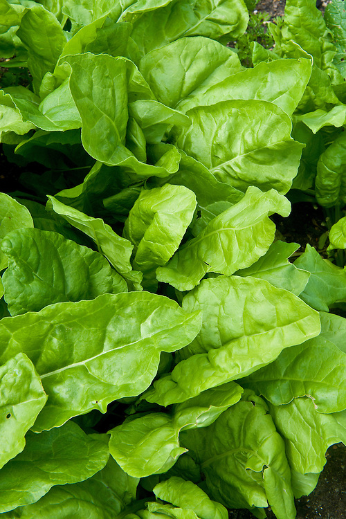 Spinach 'Scenic', mid June. Young leaves ready for harvesting, about 6 weeks after sowing seeds.