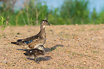 Wood duck hen and duckling in northern Wisconsin.