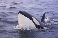 Killer whale, Orcinus orca, lunging juvenile closeup. Tysfjord, Arctic Norway