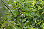 Male golden-winged warbler in northern Wisconsin.
