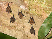 Lesser White-lined Bats (Lesser Sac-winged Bats), Saccopteryx leptura, perch on a tree trunk at La Selva Biological Station, Costa Rica