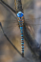 339360040 a wild male blue-eyed darner rhionaeschna multicolor perches on a branch along an irrigation canal off jean blanc road in inyo county california united states