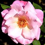 Perpetual Roses