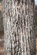 White Ash -Fraxinus americana - in the Sandown, New Hampshire Town Forest during the spring months