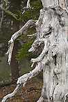 Forest gnome? A gnarled old pine tree trunk on Tam McArthur Rim, Cascade Mountains, Deschutes National Forest, Oregon.