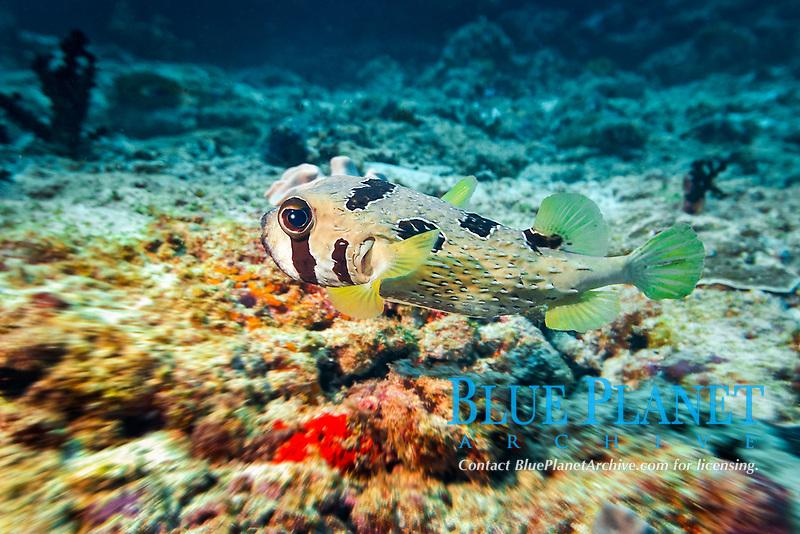 Shortspine Porcupinefish (Diodon liturosus) Vakarufalhi, Ari Atoll, Maldives, Indian Ocean