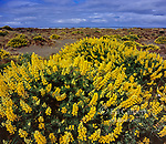 Yellow Tree Lupine, Lupinus arboreus, Little River State Beach, Trinidad, Humboldt County, California