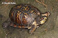 1002-0808  Male Eastern Box Turtle, Terrapene carolina © David Kuhn/Dwight Kuhn Photography.